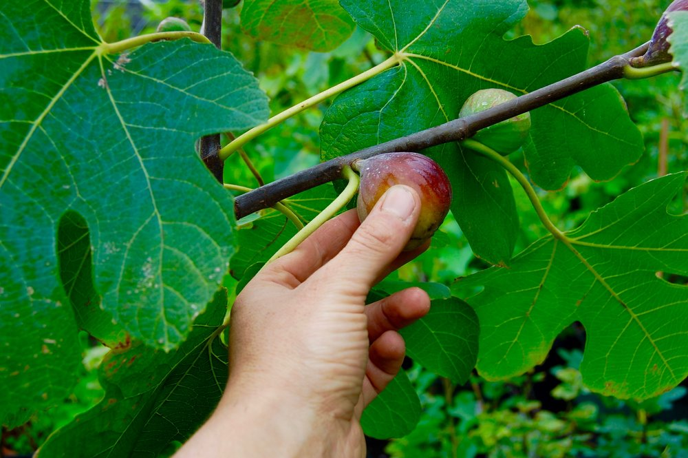 GROW FIGS IN MA!