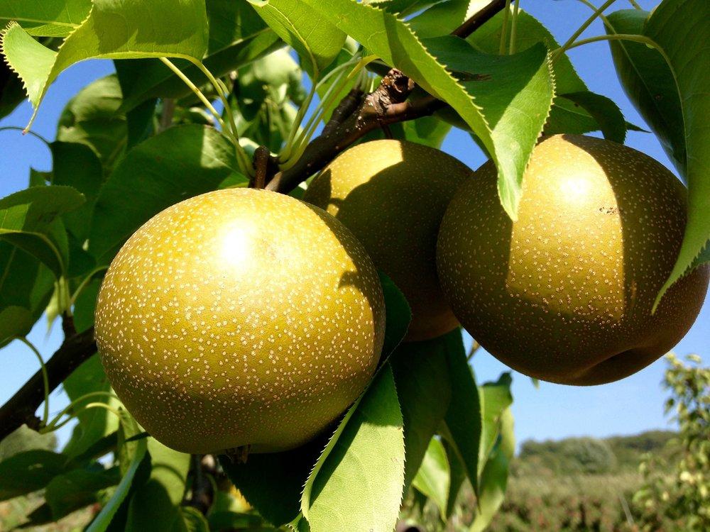 Asian pear.jpg