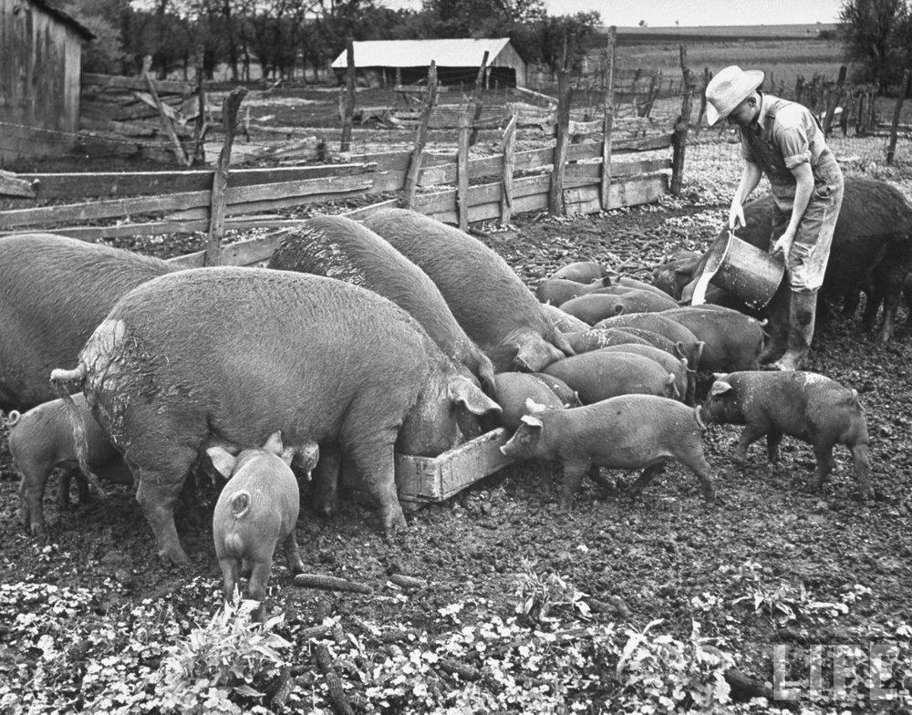 pigs 1947.jpg