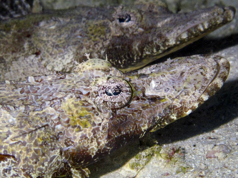 Cymbacephalus Beauforts, Crocodilefish