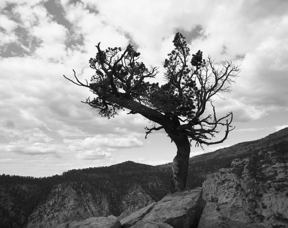 Pinyon Pine on Hell's Backbone, Shot on 120 Ilford Film. Purchase a Print  Here .