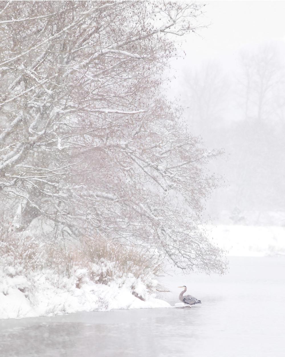_MG_7838_SnowHeron.jpg