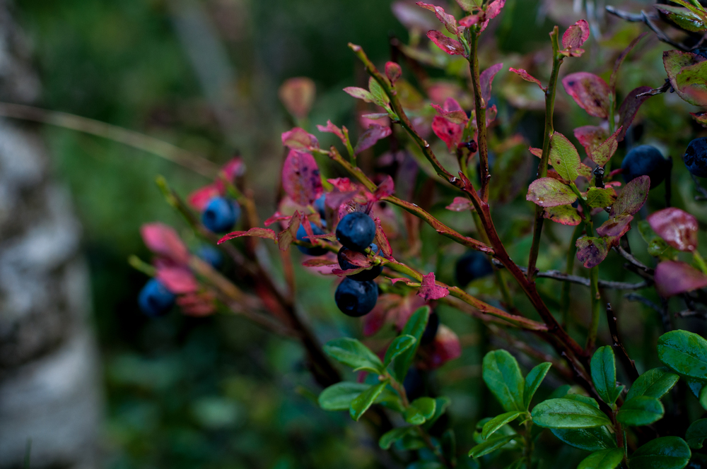 blueberry bushes in norway