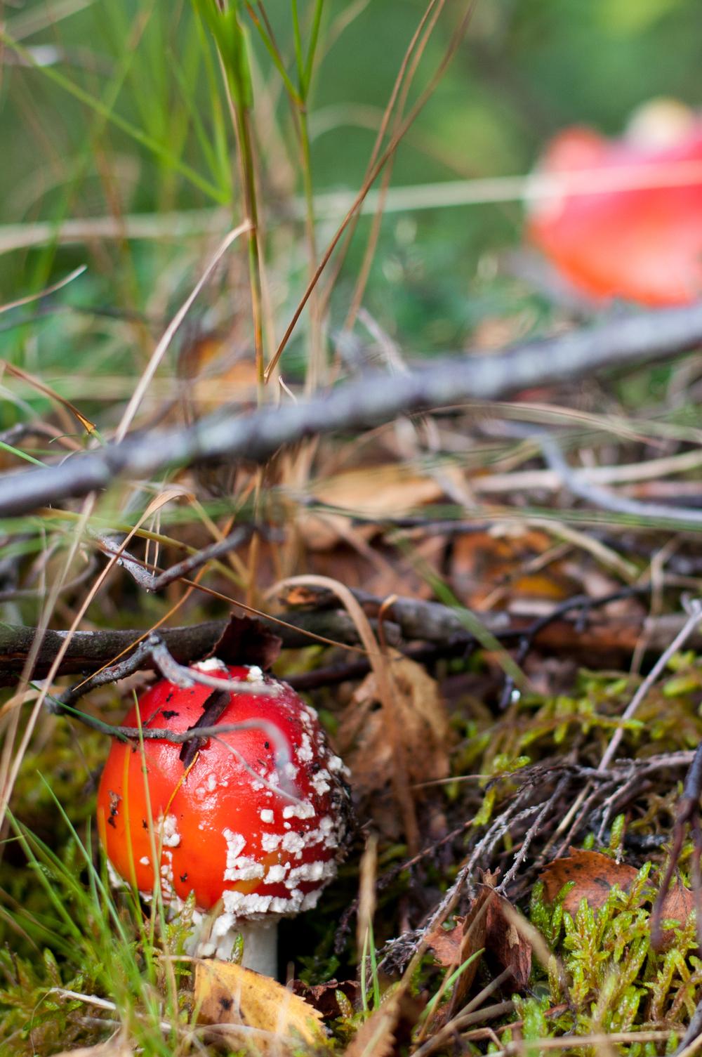 Foraging Mushrooms in Norway
