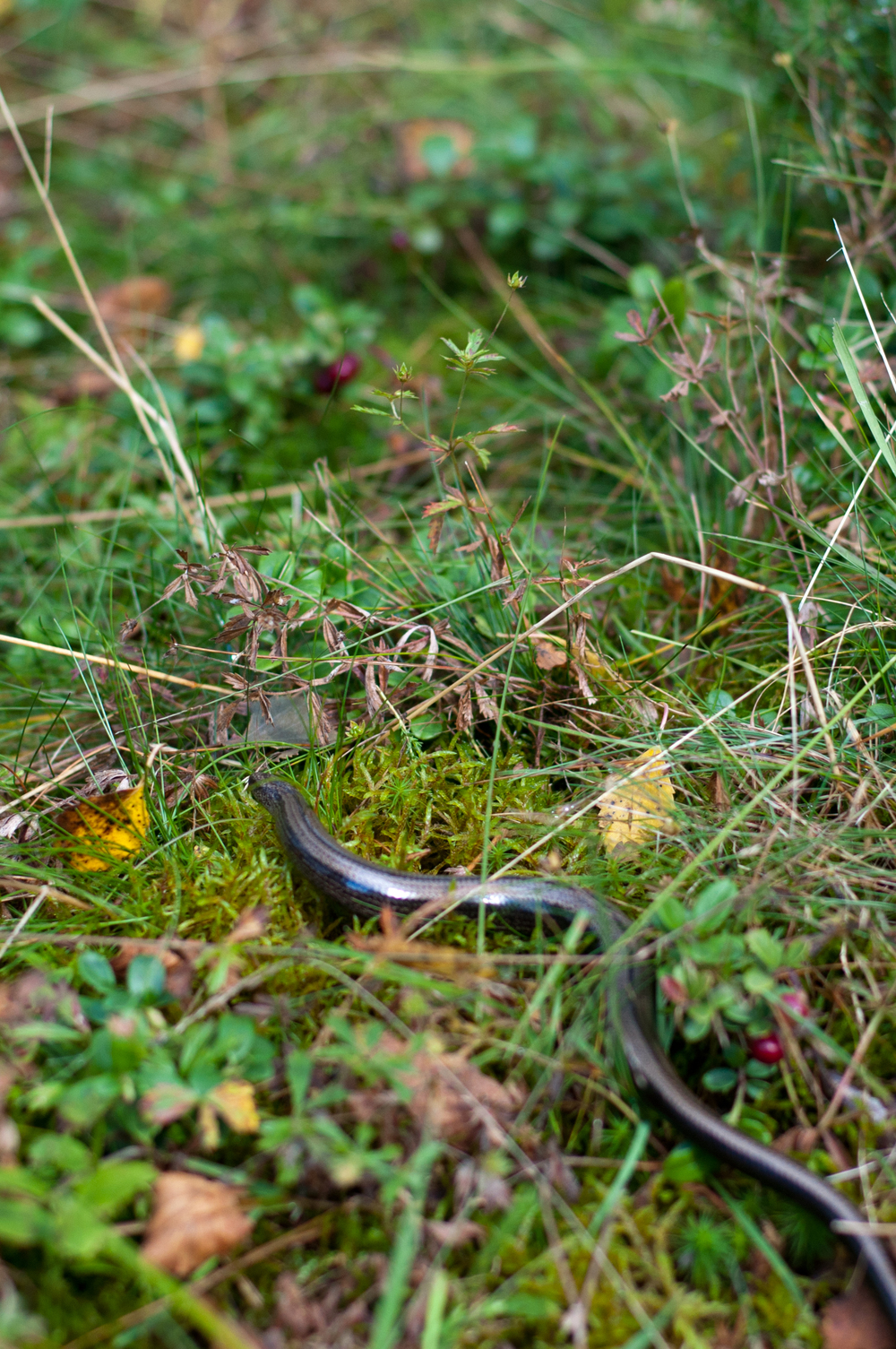 Garden Snake in Norway