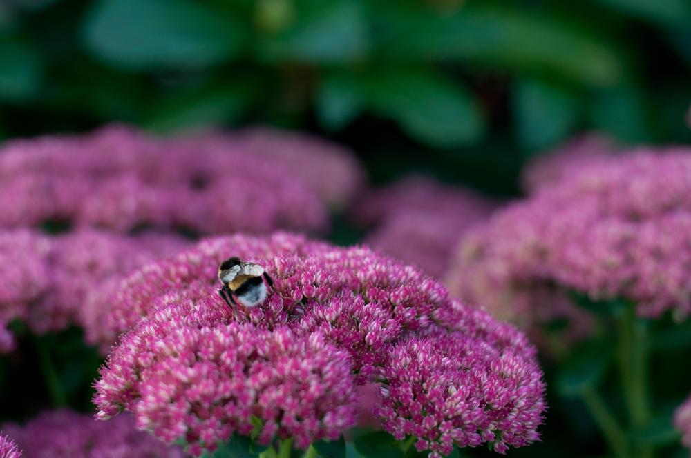 Bumble bees in flower garden