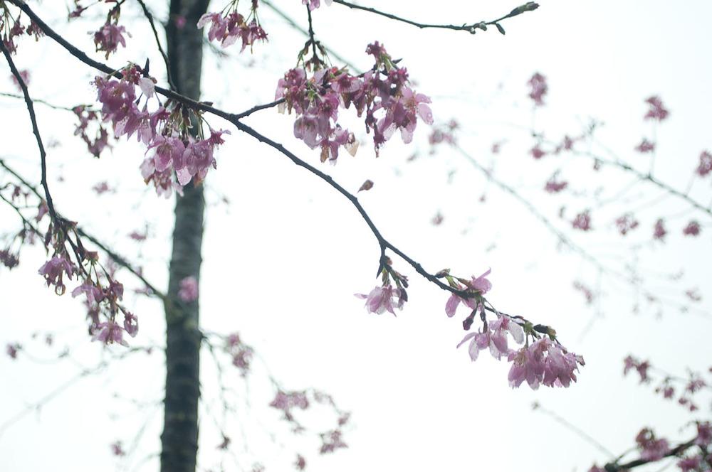 Cherry Blossom Tree Taiwan