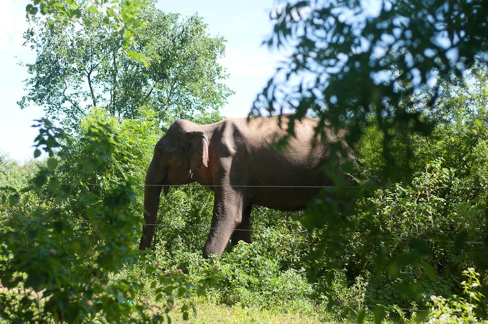 Elephant Udawalawe National Park Sri Lanka