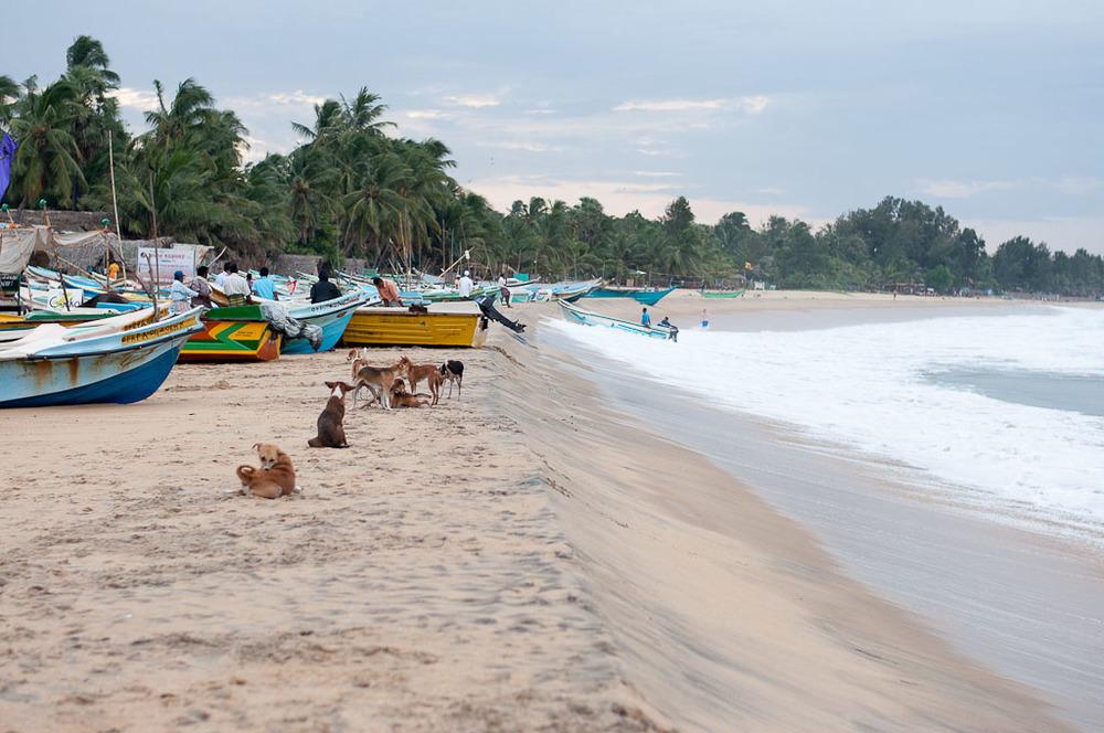 Stray Dogs Arugam Bay Sri Lanka Beach