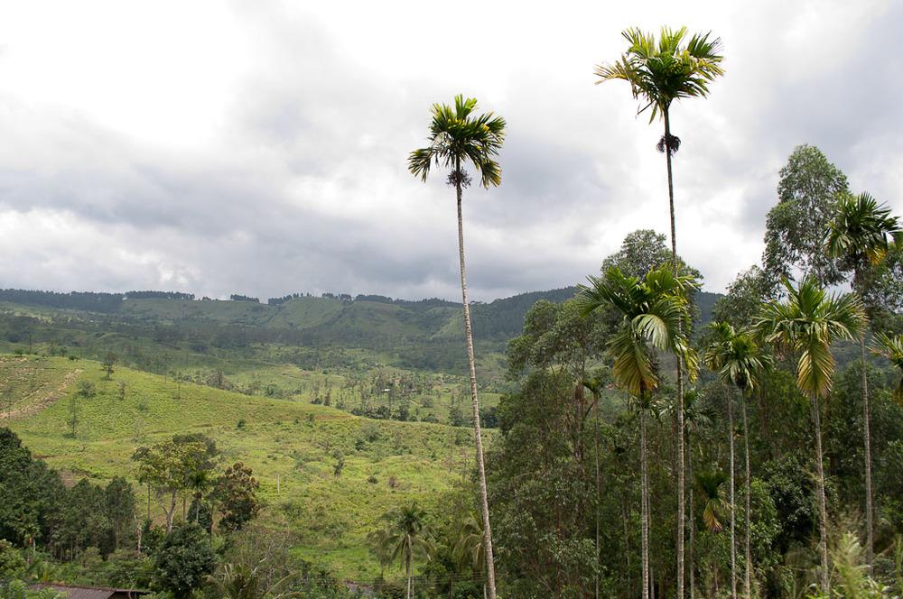 Sri Lanka Hill Country Palms