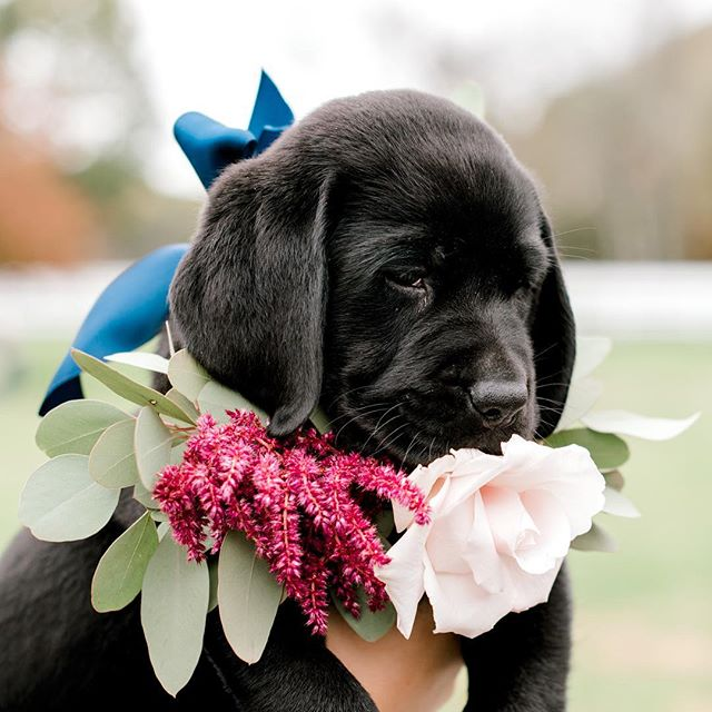 Meet Moose the Puppy! Moose was our absolute favorite bridal detail at the last wedding inspiration shoot I was at! He was sleepy, cuddly, floppy and adorable. Oh and did I mention he was just 9 weeks old at the time? So of course we had to snuggle him, love him and @alexagallishawflorals had to make him a flower collar! By the end we all wanted to take him home! The first part of this shoot is on the blog today, so head over to the website (link in bio) and check it out! Planner @fullbloomevents  Organizer @laurenhawkinsphoto  #puppyatawedding #pompositticutfarm #hudsonma