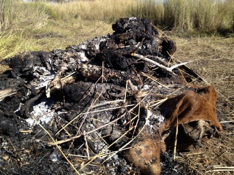 Poisoned cattle- later burned to keep other animals from feeding. Photo credit: Richard Boltar