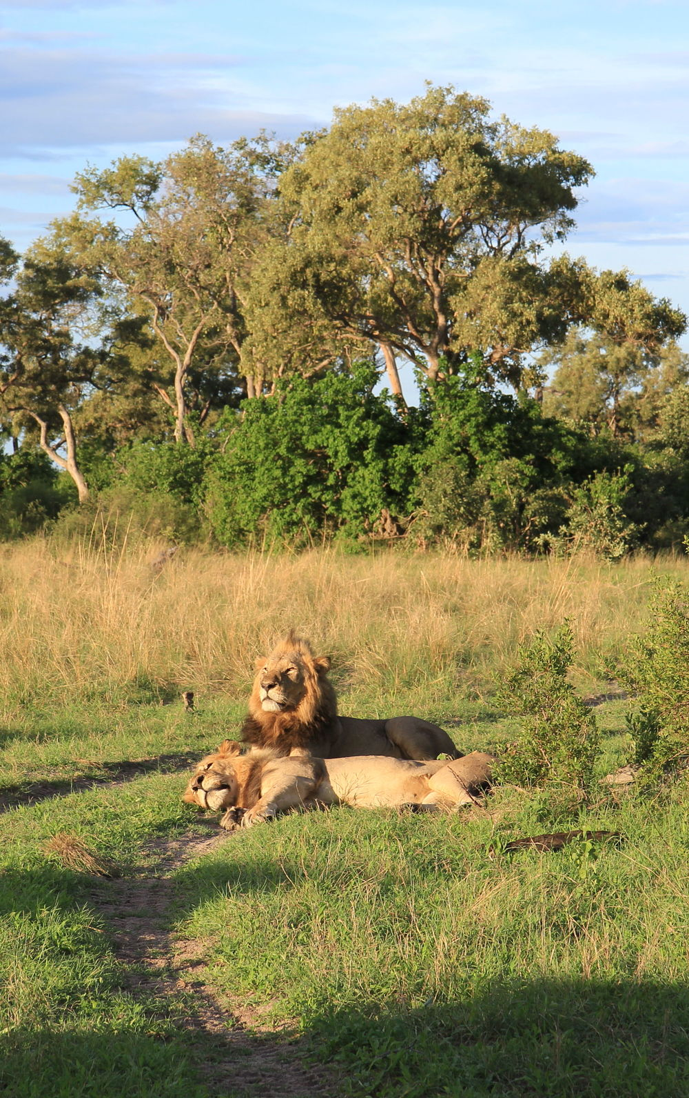 Lions from the adjacent wildlife concession.