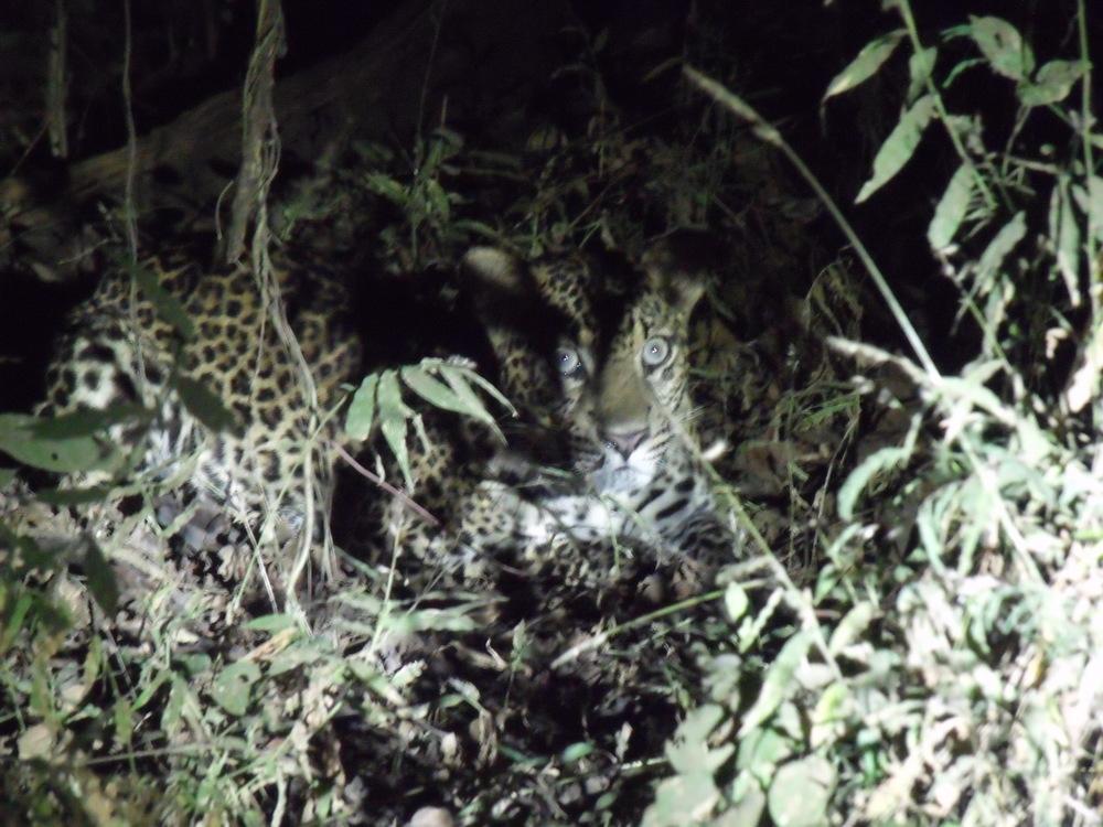 Elusive Javan leopard