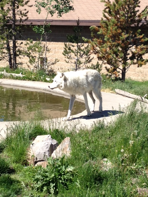 Captive wolf at the grizzly and wolf discovery center