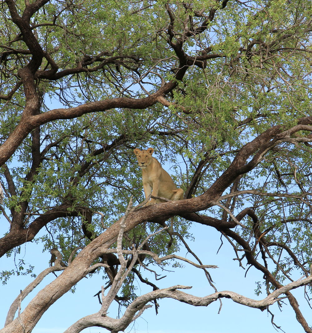 A rare sight! Lioness up a tree.