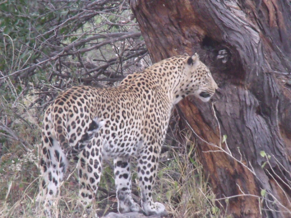 Wild Leopard in Northern Botswana.