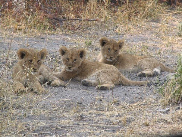 It is always exciting to spend time with a pride that has young, energetic cubs and it is hard to revisit the same pride to see that a few of these cubs are missing. Two of our prides have had such losses recently and we hope to address the cause of these losses.