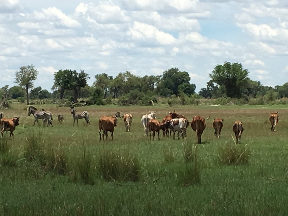 Mingling Zebra and Cattle