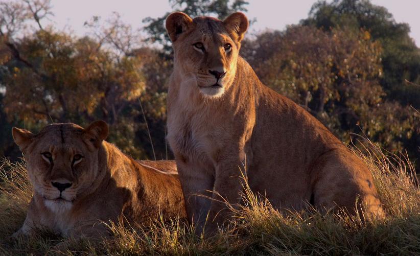Shishatiya (left) and her previous subadult cub