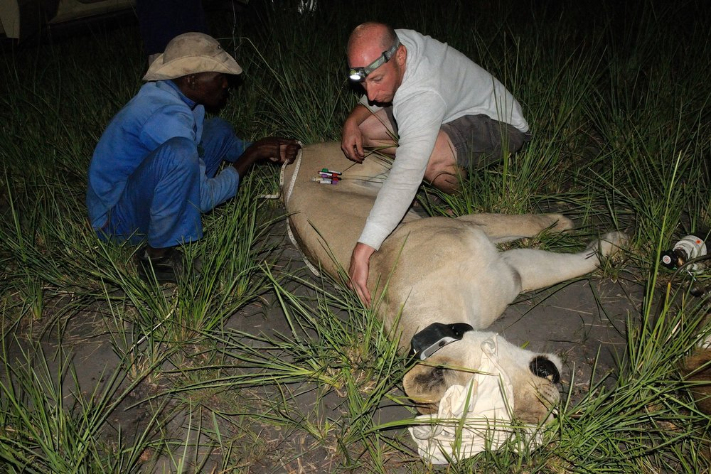 "Dr. Stein taking measurements of ""Wetu"" the Lioness with Pro Tomeletso. Photo credit: Krystal Wu"