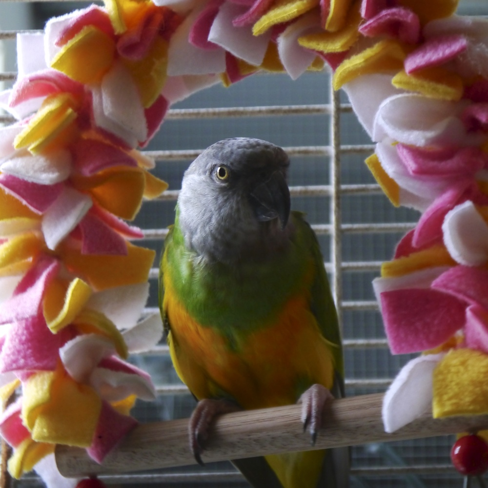Foster Parrots - Pip.jpg