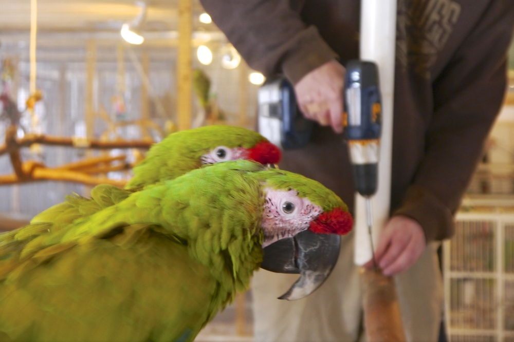 Foster Parrots - Maya and Woodstock and Kevin.jpg