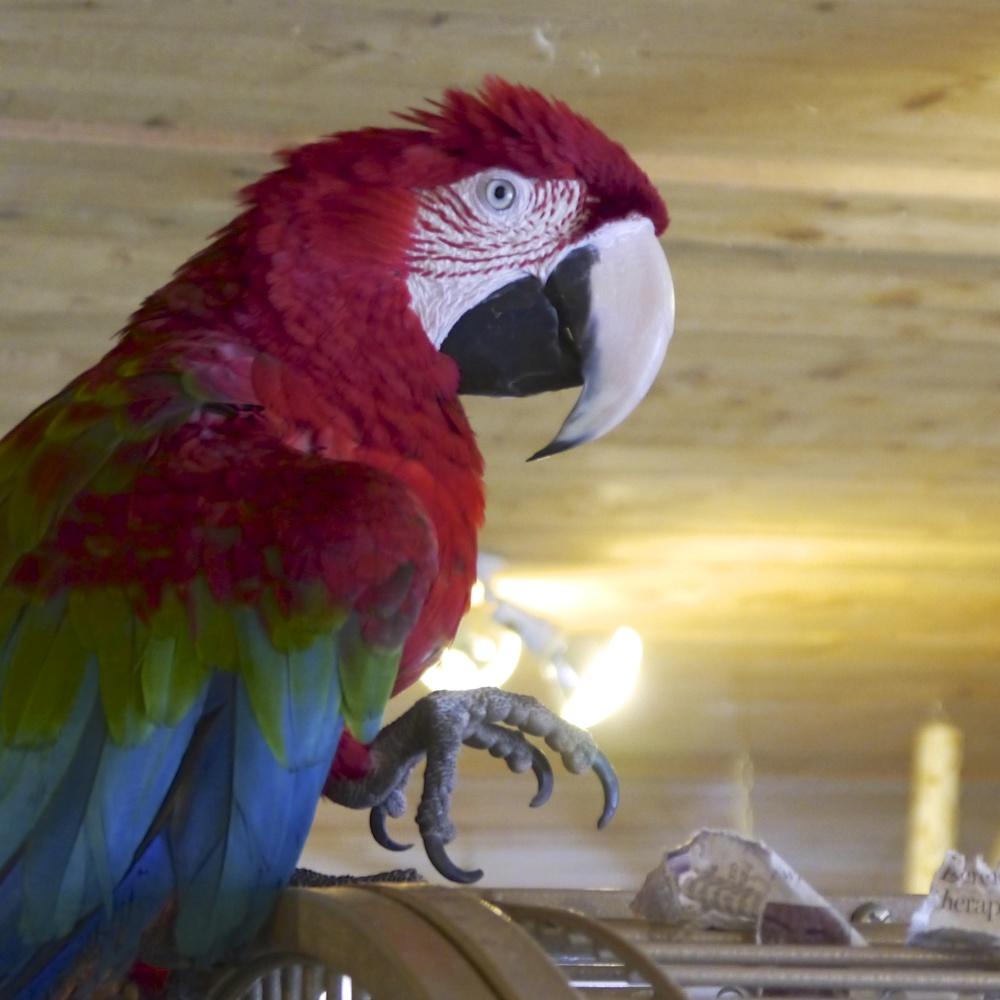 Foster Parrots - Beckett.jpg