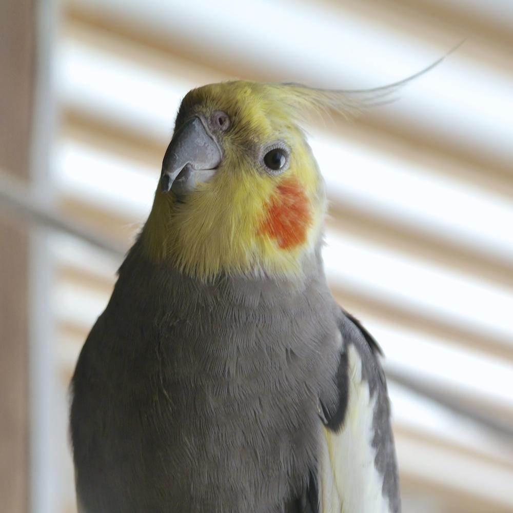 Foster Parrots - Cockatiel.jpg