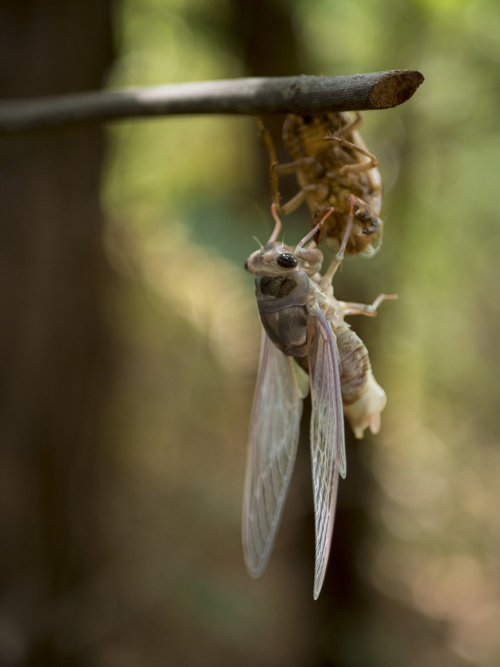 Cicada getting its wings