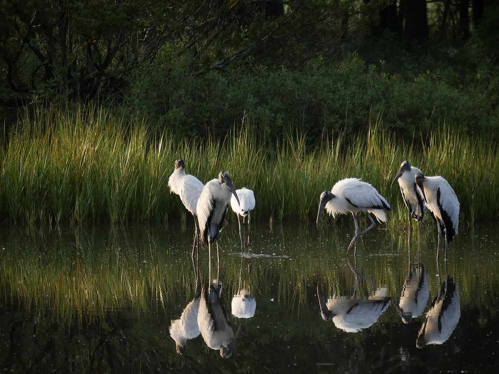 Storks in the Early Morning