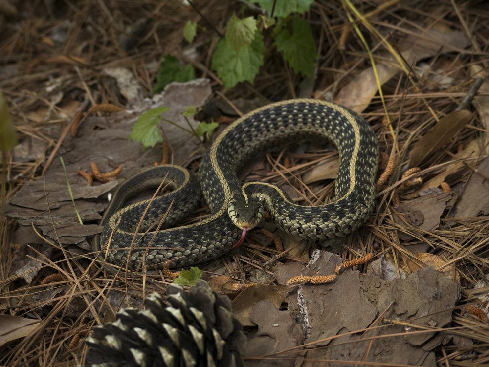 Eastern Garter Snake taking a defensive display