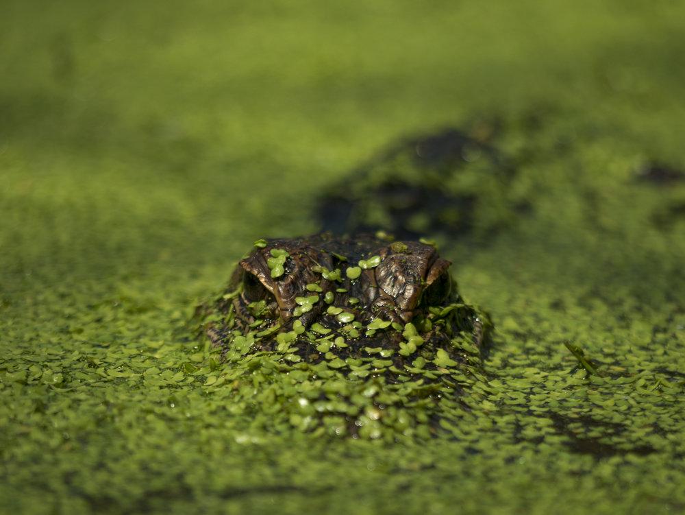 A juvenile Alligator poking through the vegetation