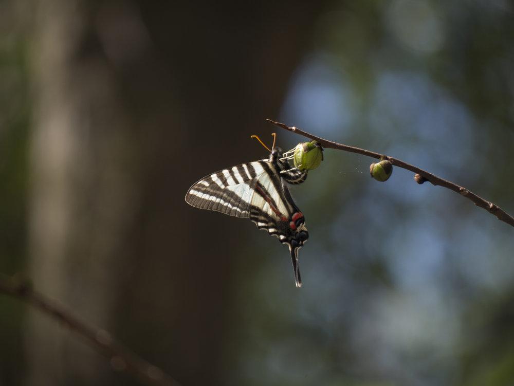 Zebra Swallowtail taking a respite