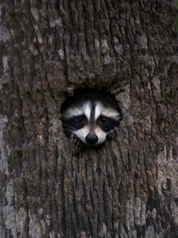 A North American Racoon peeking through peeking out of his hideout