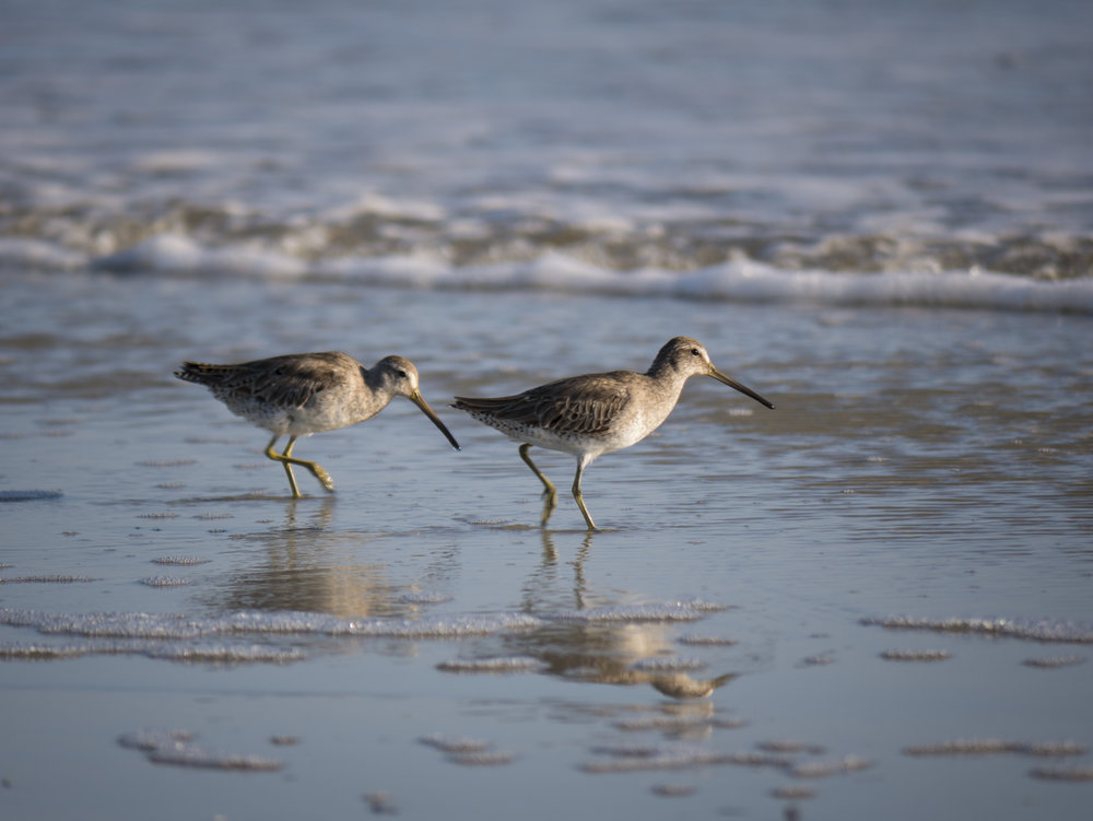 Short Billed Dowitchers walking the beach