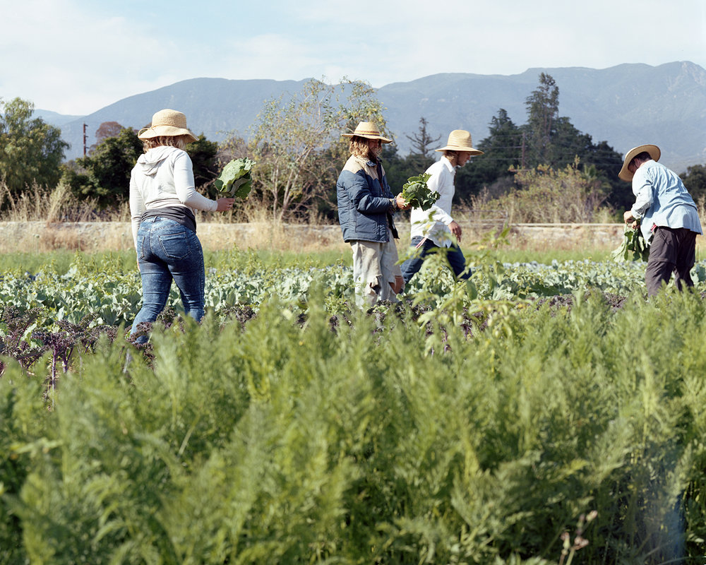 Volunteers gathering kale