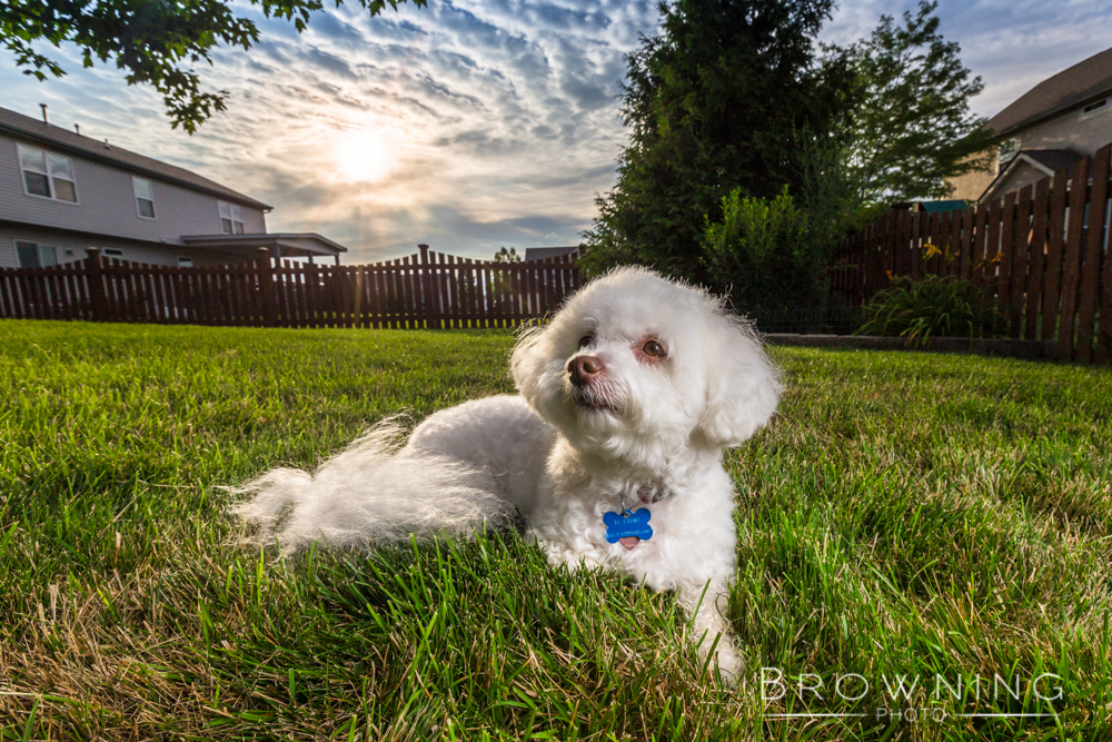 chrissy-the-bichon
