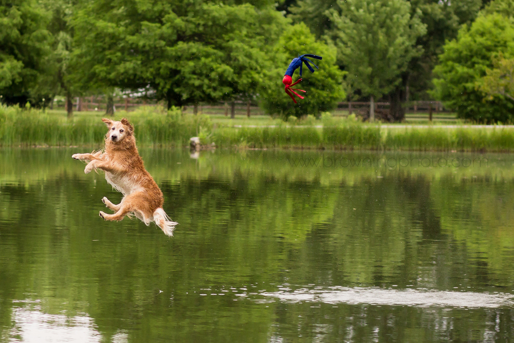 golden-retriever-dock-diving