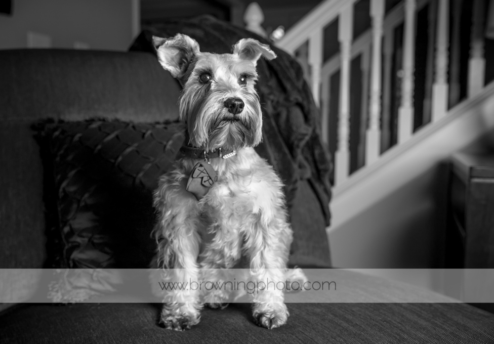 lily the mini schnauzer