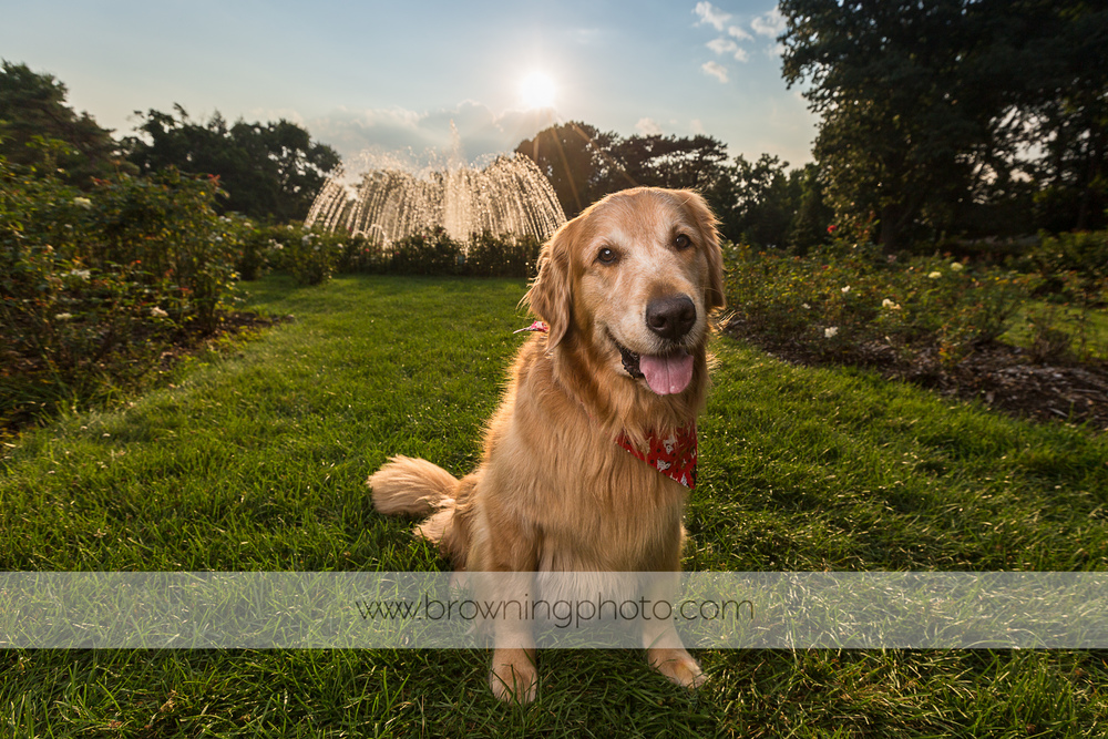 columbus golden retriever