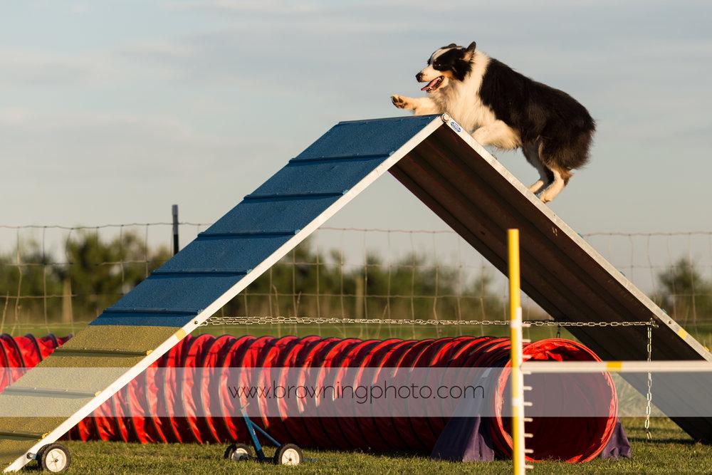 agility-dogs-1