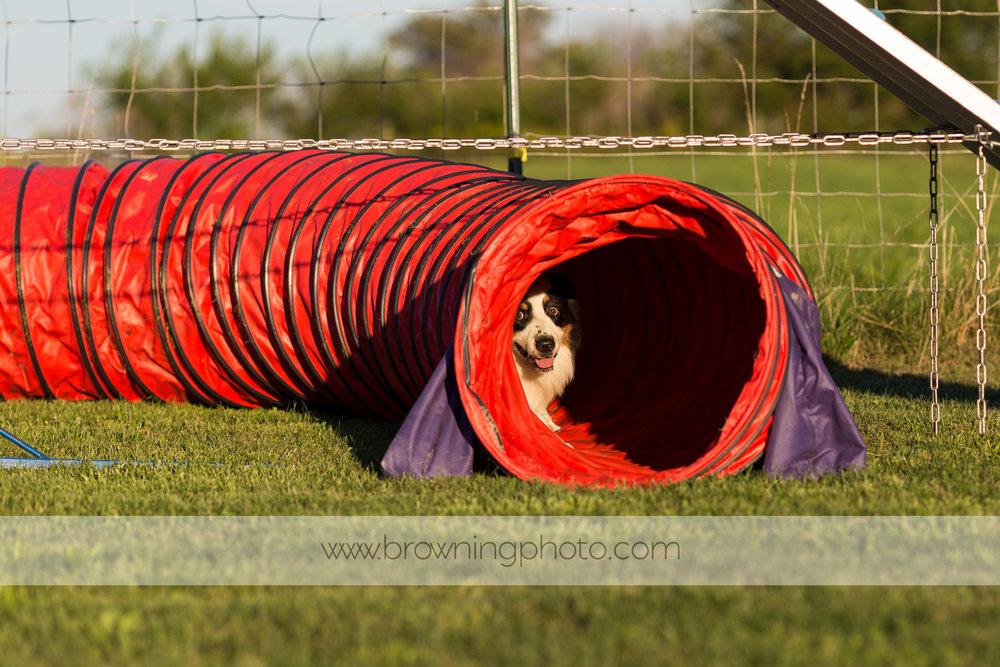 agility-dogs-3