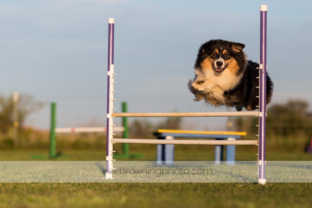agility-dogs-4