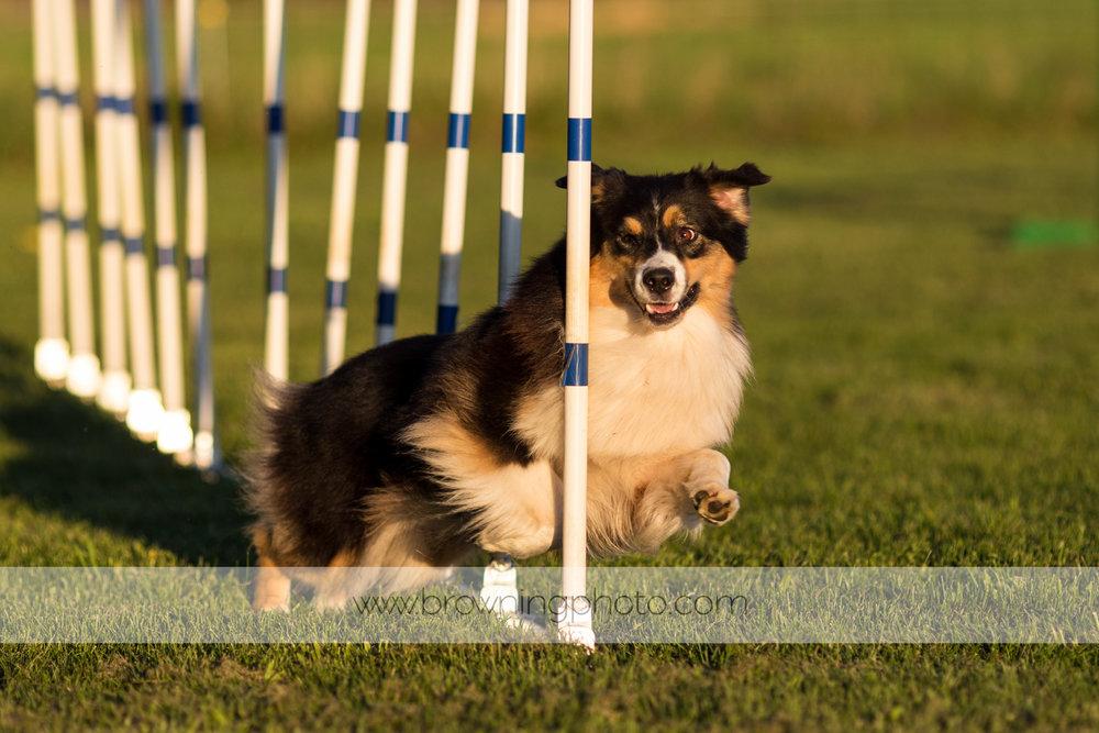 agility-dogs-5