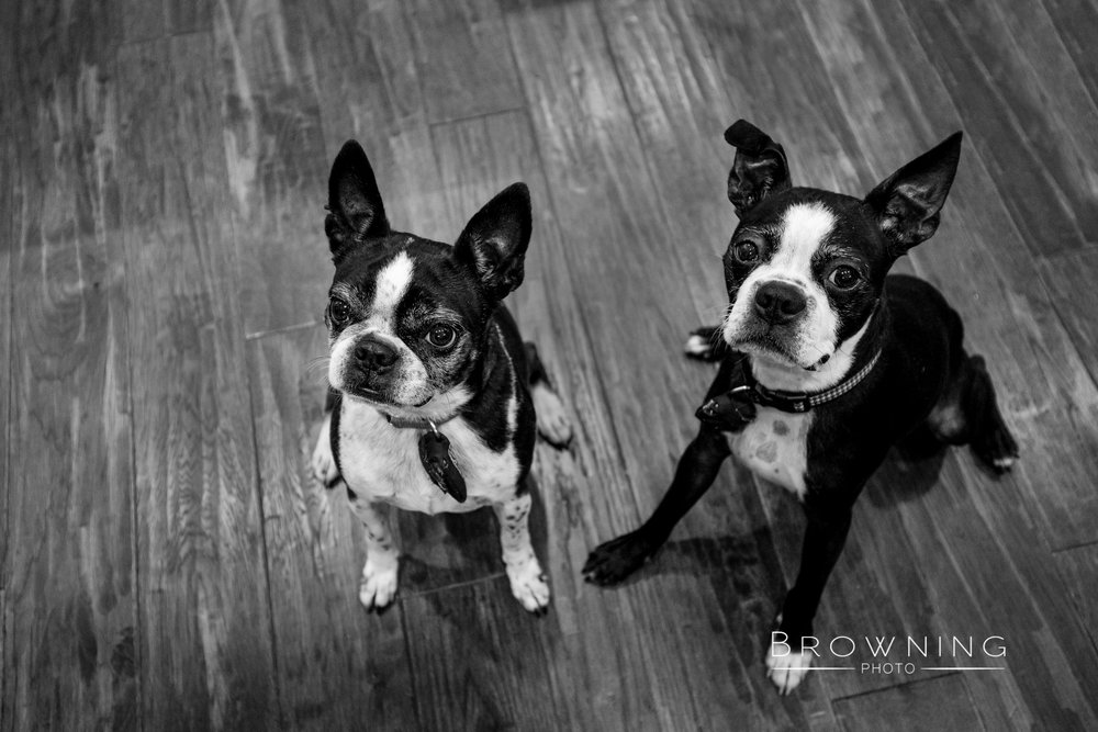 worthington-boston-terriers-3