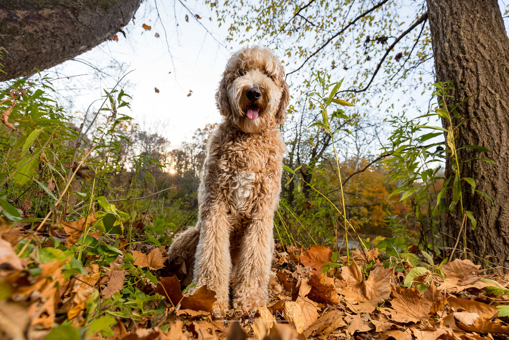 goldendoodle-at-highbanks