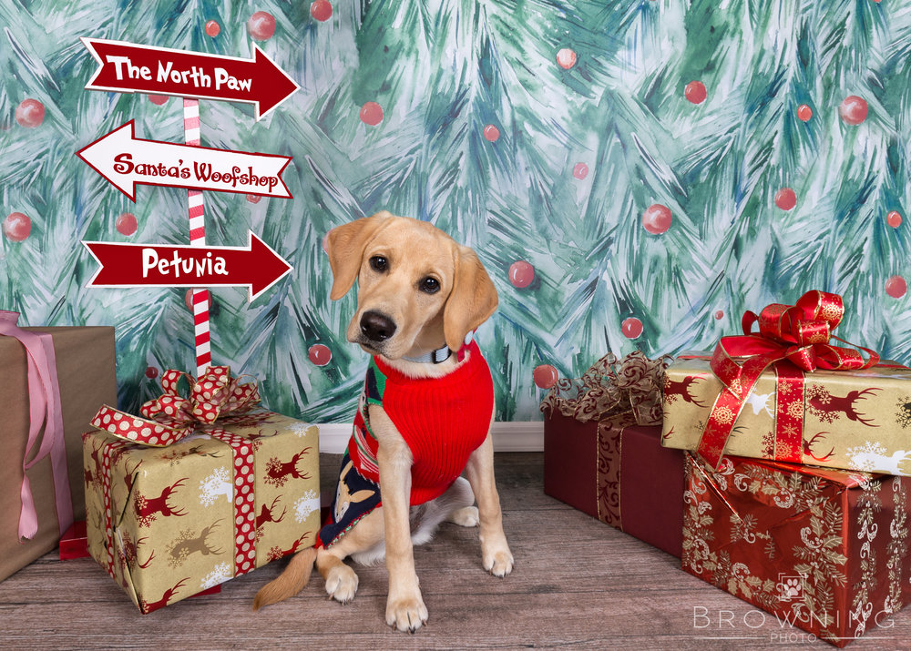 holiday-puppy-portraits-1