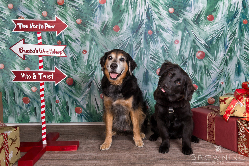 holiday-puppy-portraits-2