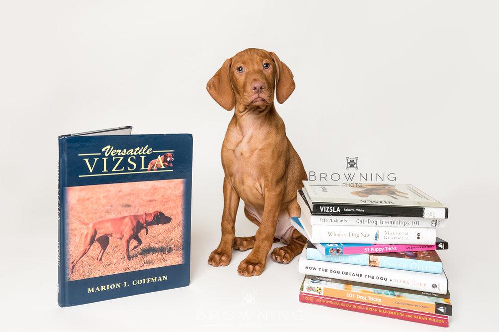 vizsla-puppy-1